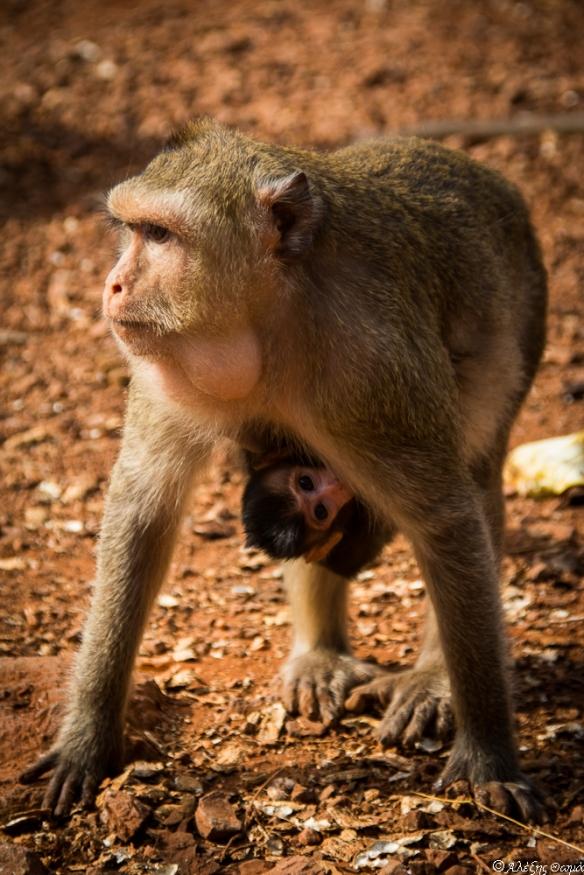 Thailand Monkey 2 - 1920c-1
