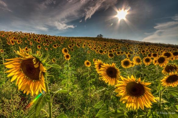 Sunflowers - 1920c